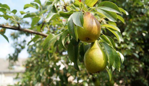 「梨」生産量全国2位の茨城県が送り出すオリジナル品種「恵水」をご存知ですか?