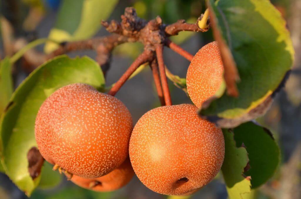 梨で有名な3種類 「幸水」「豊水」「二十世紀梨」