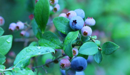 ブルーベリー栽培発祥の地で作られる小平ブルーベリーとは