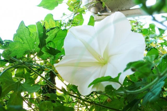 ユウガオから作られる栃木の名産「かんぴょう」