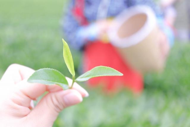 新茶や一番茶…お茶の種類について