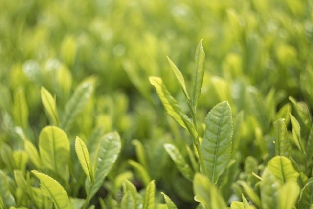 日本三大茶の一つ「静岡茶」