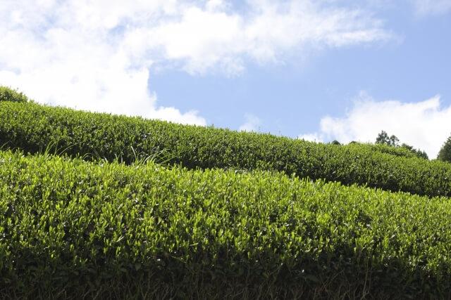 静岡県掛川市で生産されるお茶「掛川茶」