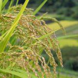 日本を支える稲作の歴史はいつから続いているのか