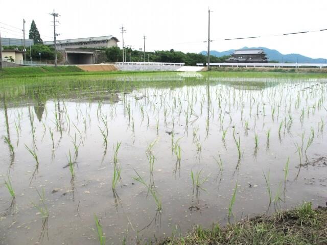 稲作の歴史を絶やさないために「熊本ヒノデ米プロジェクト」