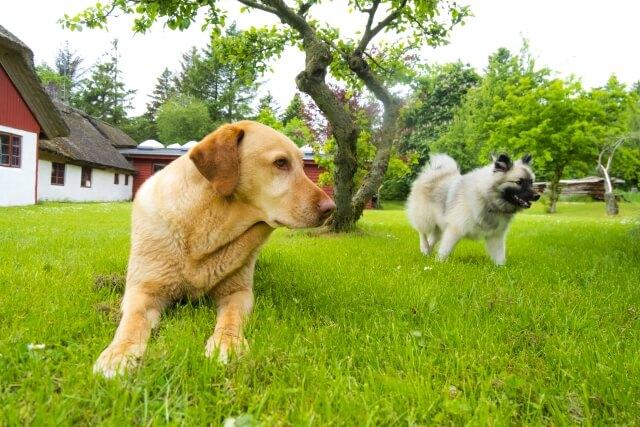 盲導犬として活躍している犬種