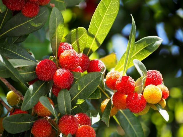 幻の果実とも呼ばれる「ヤマモモ」の特徴とおいしい食べ方